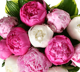 welcome peonies